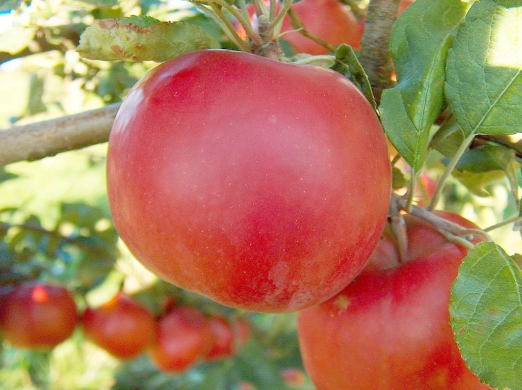 McIntosh Apfel